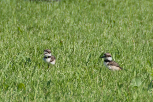 Nature Study: killdeer chicks | Learning Mama