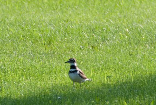 Nature Study: mama killdeer | Learning Mama