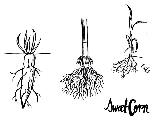 Drawing by our student, Marisol, in our study of crops grown in Wisconsin.