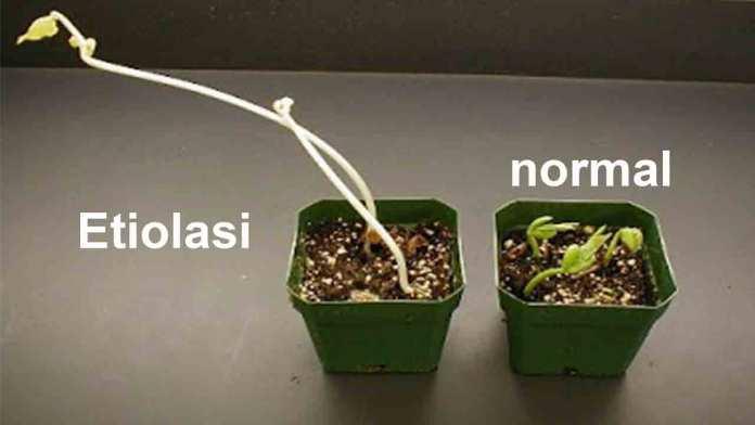 Gambar - Proses etiolasi yang terjadi pada kecambah tanaman
