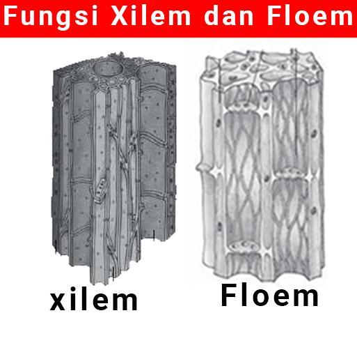 Fungsi Xilem dan Floem Pada Tumbuhan Lengkap Dengan Bagian Tipe Gambar