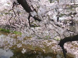 Sakura 2016 Shukugawa 2