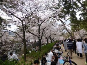 Sakura 2016 in Nishinomiya 1