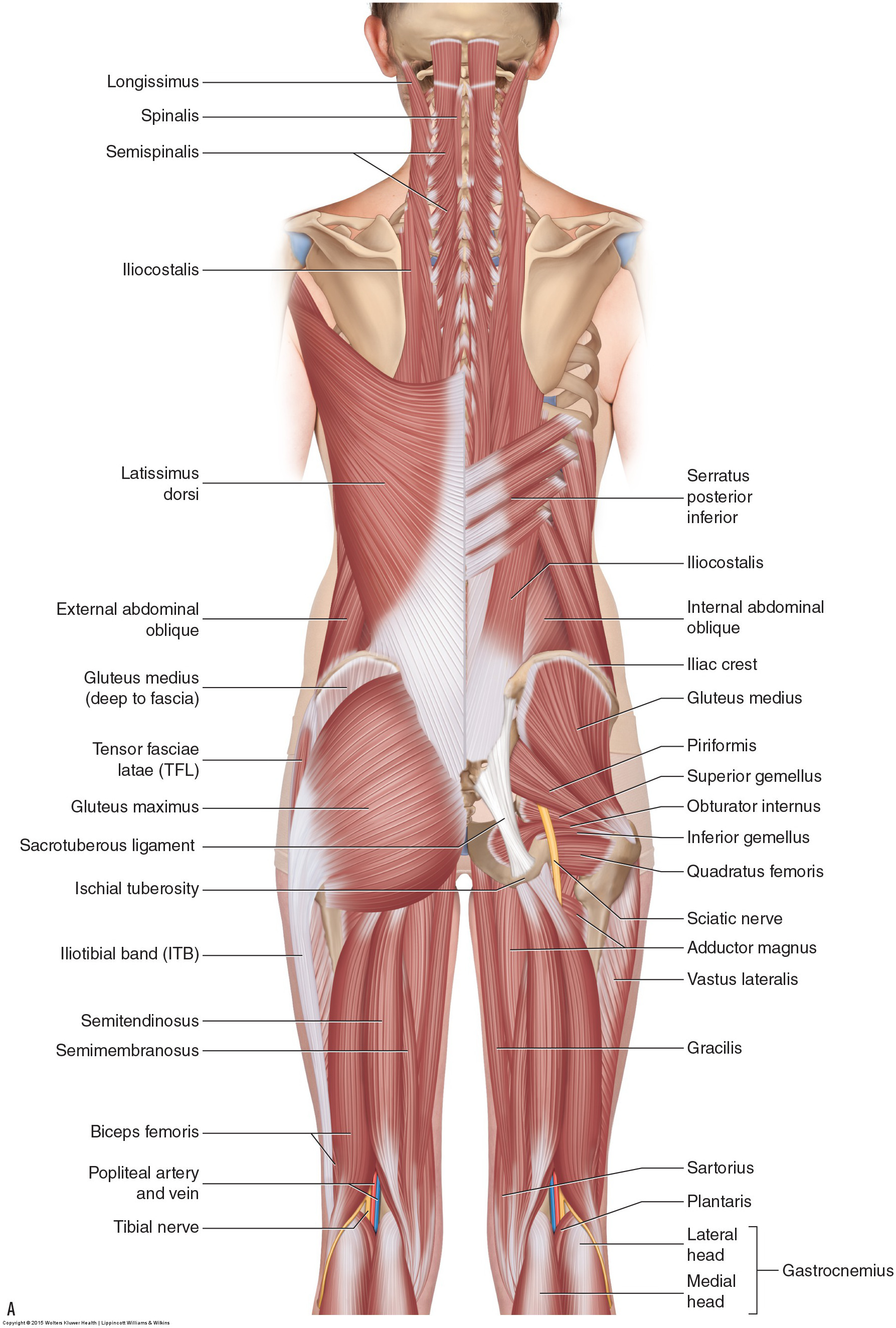 Lower Back And Leg Muscle Diagram : lower, muscle, diagram, Hamstring, Strain, Causes, Strain?