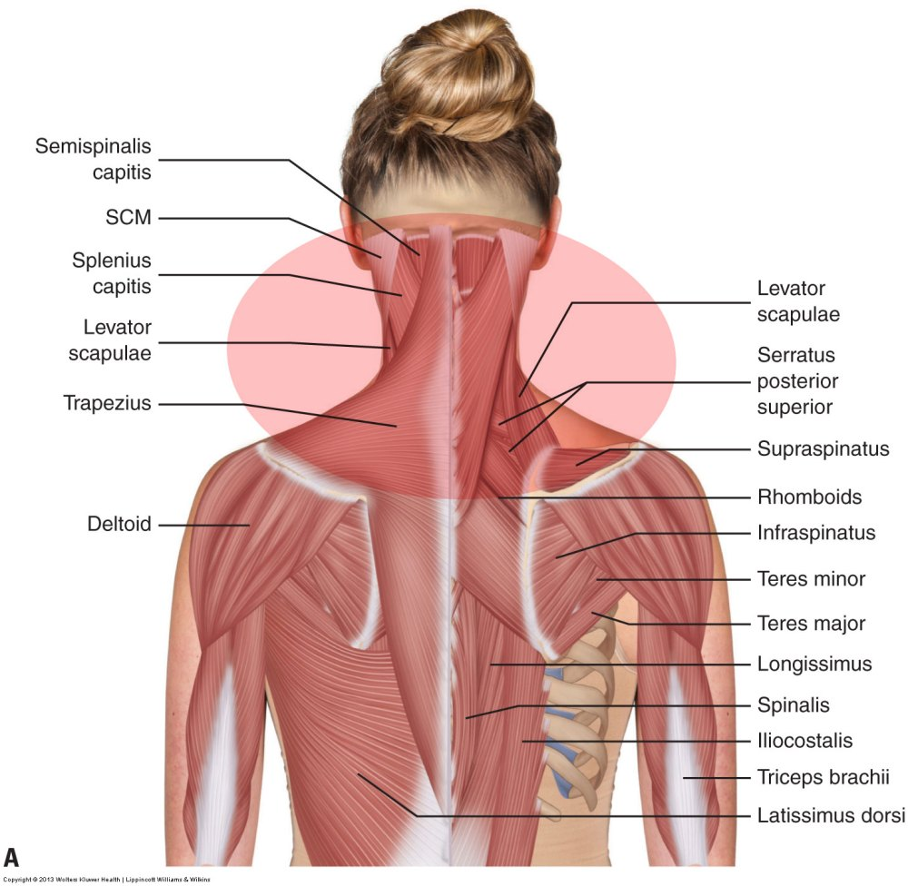 medium resolution of posterior view of the muscles of the neck permission joseph e muscolino
