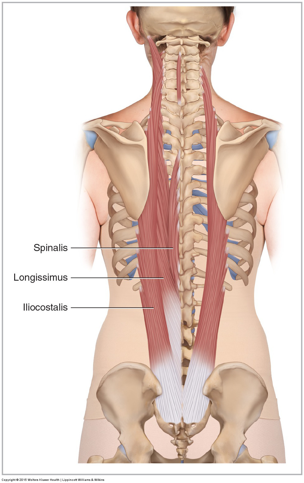 Name Of Lower Back Muscles : lower, muscles, Muscles, Lumbar, Spine, Trunk