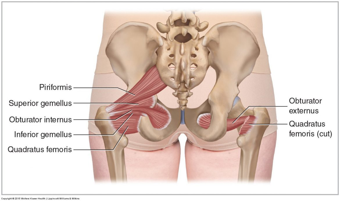 hight resolution of posterior views of the deep lateral rotator group including the piriformis
