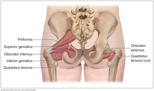small resolution of posterior views of the deep lateral rotator group including the piriformis