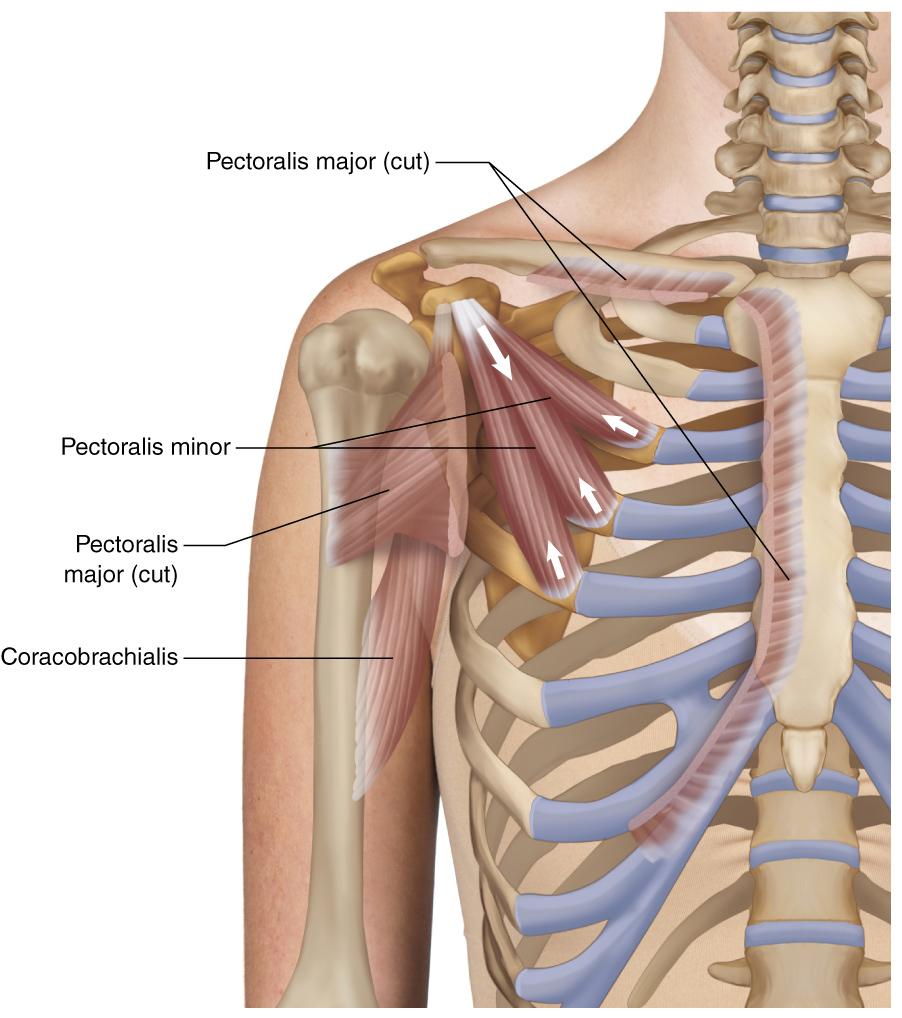 medium resolution of pectoralis minor learn muscles pectoralis minor muscle diagram pectoralis minor diagram