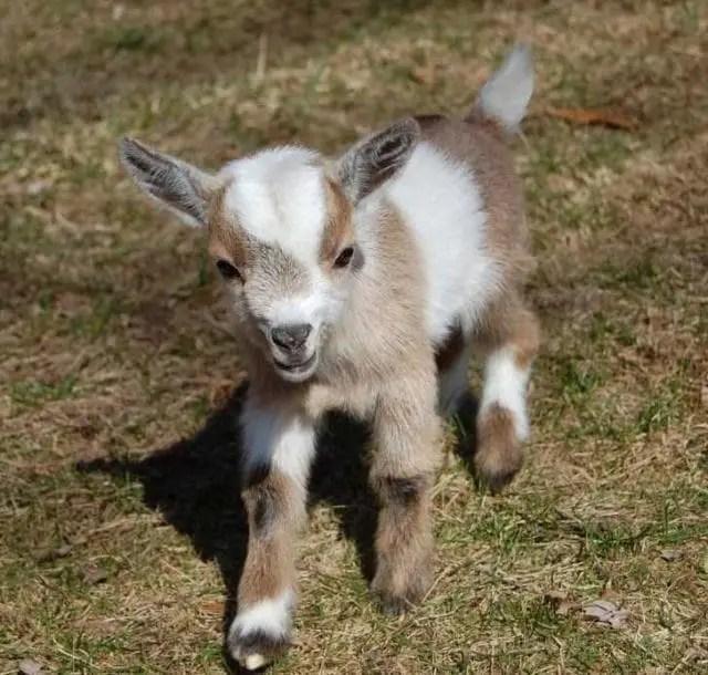 do pygmy goats make