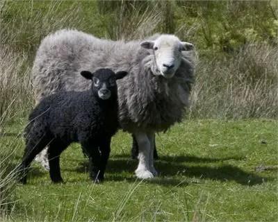 Herdwick Sheep Characteristics - Learn Natural Farming