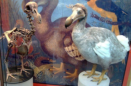 Dodo cast and model