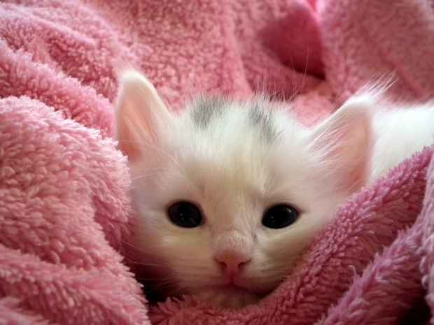 kitten-cat-pink-blanket