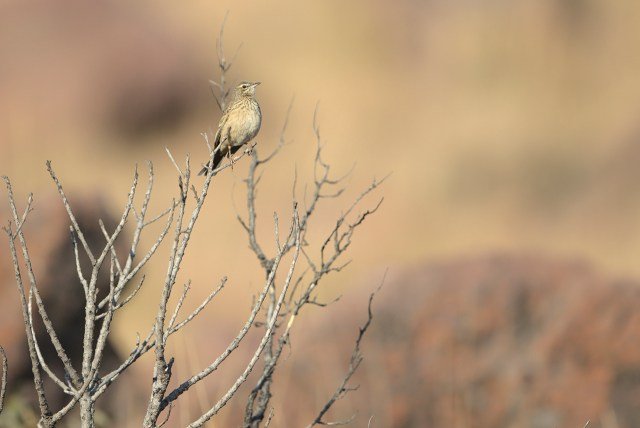 Long-billed pipit in leafless bush