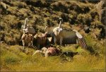 Cape Vultures and White-necked Ravens at a sheep carcass.