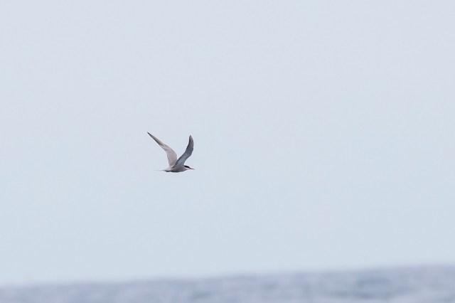 White-cheeked Tern on a Durban pelagic - Niall Perrins