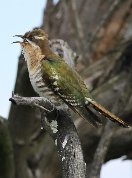 Female diederik cuckoo