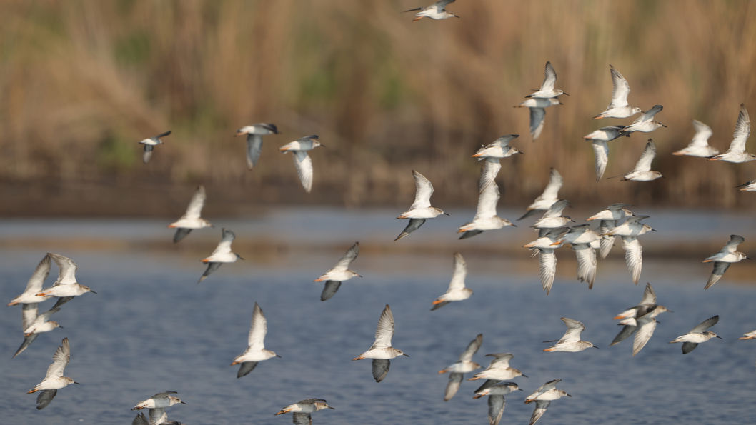 Flock of over-wintering ruff at Marievale