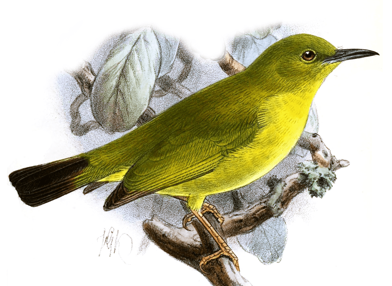 The Solomons white-eye