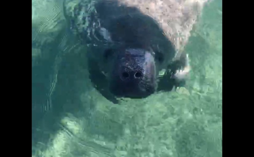 More Manatee Footage…..