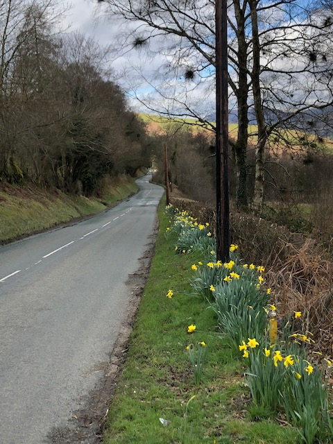 daffodils at roadside
