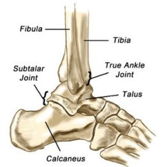 Joints Of The Foot Diagram 2004 Ford F150 Transmission Ankle Lower Leg Anatomy Orthopedic Assessment