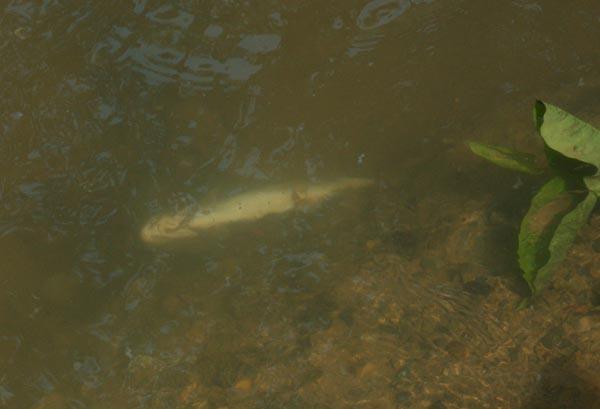 Hl (6) : poissons morts de la pollution (2/4)