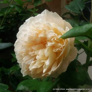 Rosa Crown Princess Margareta