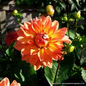 Dahlias and how to care for them in Winter