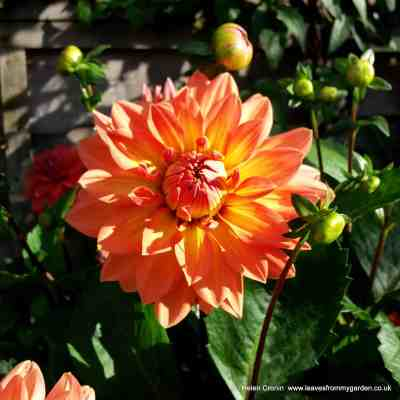 Dahlias – How to care for them in Winter