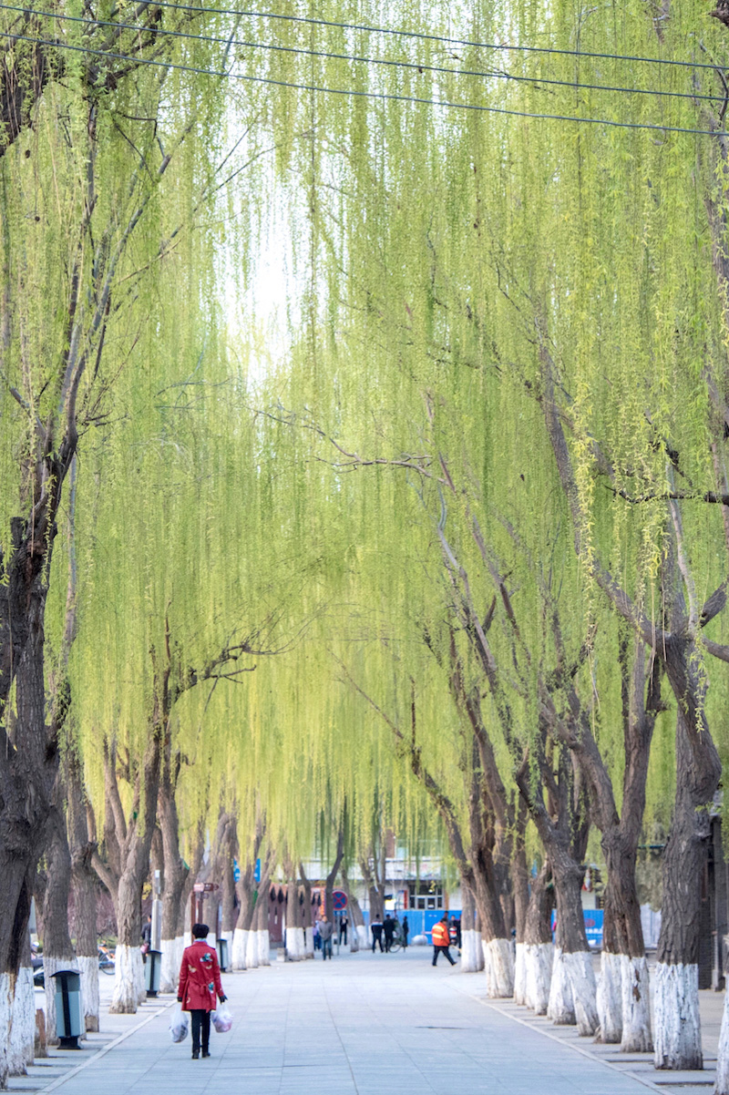 Willow tree along a street in Zhangye, Gansu, China