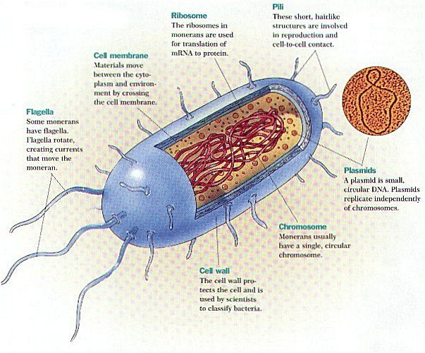 bacteria structure diagram wiring for honeywell thermostat rth2300b structural characteristics of a bacterial cell