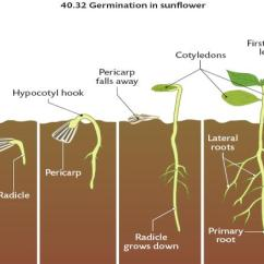 Diagram Of A Flowering Plant With Label Polaris Sportsman 500 Wiring The Structure And Functions Flowers In Some Plants Cotyledon Remains Underground While Other Emerges Above Ground Diagrams Below Show These 2 Methods