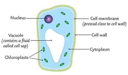 plant cell diagram animal simple drawing toyota hiace radio wiring structure the vacuole contains sap this is made of sugars salts and pigments chloroplasts contain chlorophyll where photosynthesis occurs within