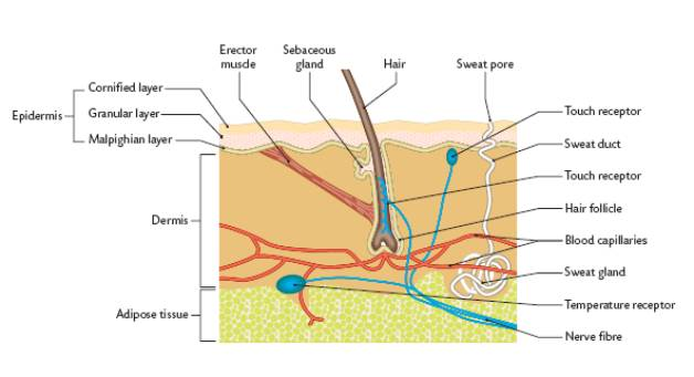 dermis layer diagram nhp shunt trip wiring excretion the skin has two layers there is outer epidermis and inner adipose a below which contains fat rich