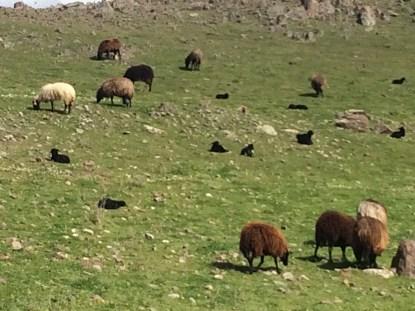 3-16 Lambing season