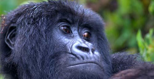Silverback gorilla picture