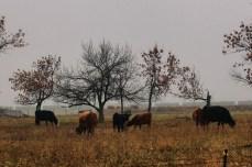Cow pasture. Lebanon, North Dakota