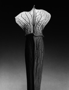 mapplelthorpe - jack in the pulpit - le bastart