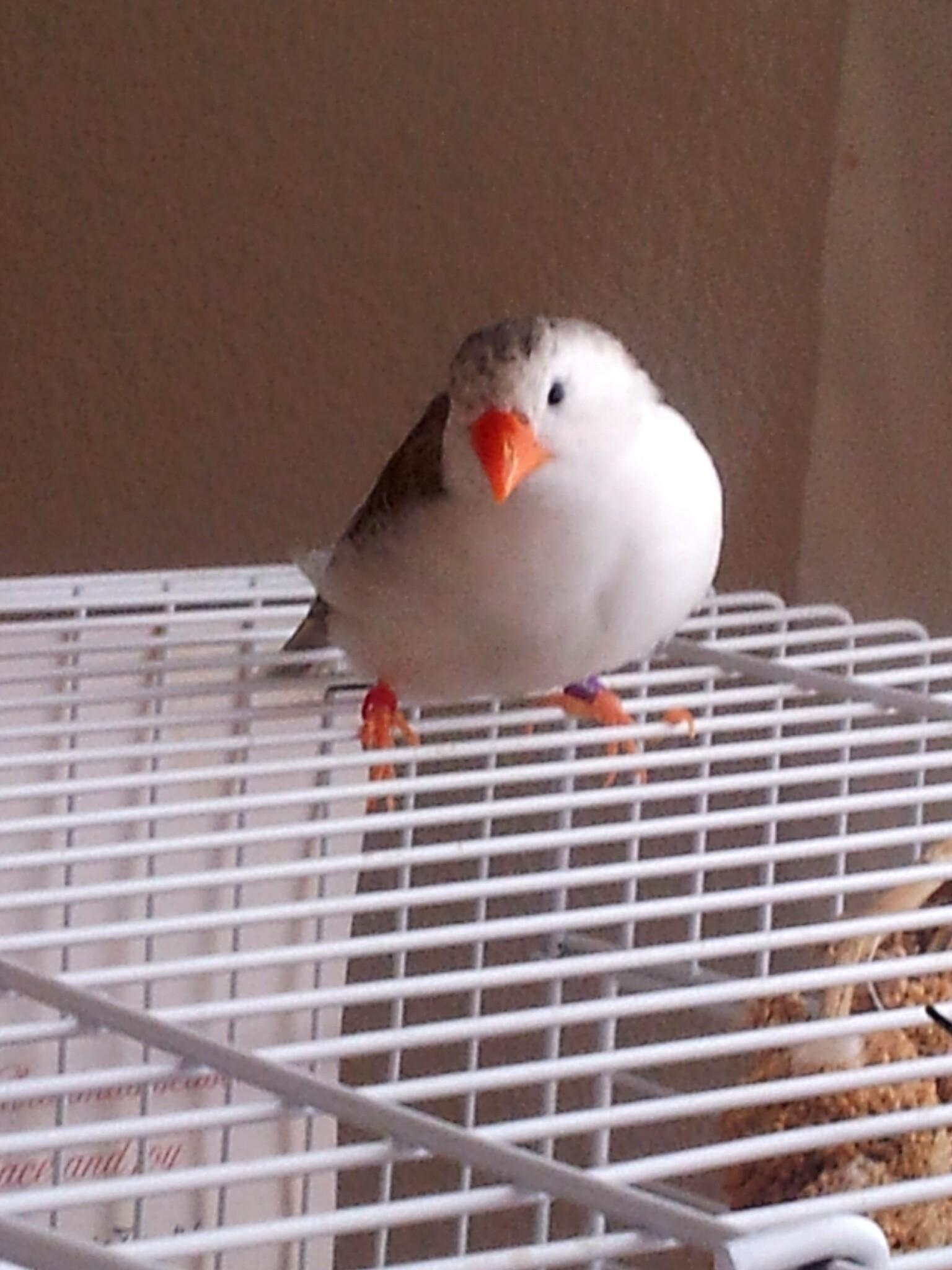 Finches For Sale Craigslist : finches, craigslist, Zebra, White, Finch, Aviary