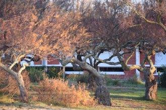 tamaris en face de l'école du Bétey 2016