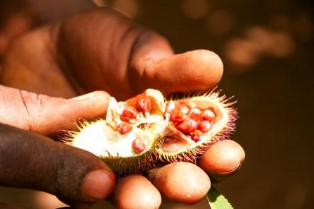[:fr]Arbre Achiote - Zanzibar[:en]Achiote Tree Fruit - Zanzibar[:]