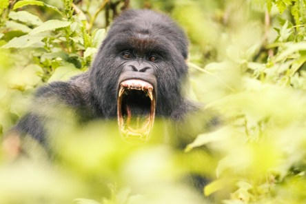 A male yawning. I gues King Kong was just constantly tired...