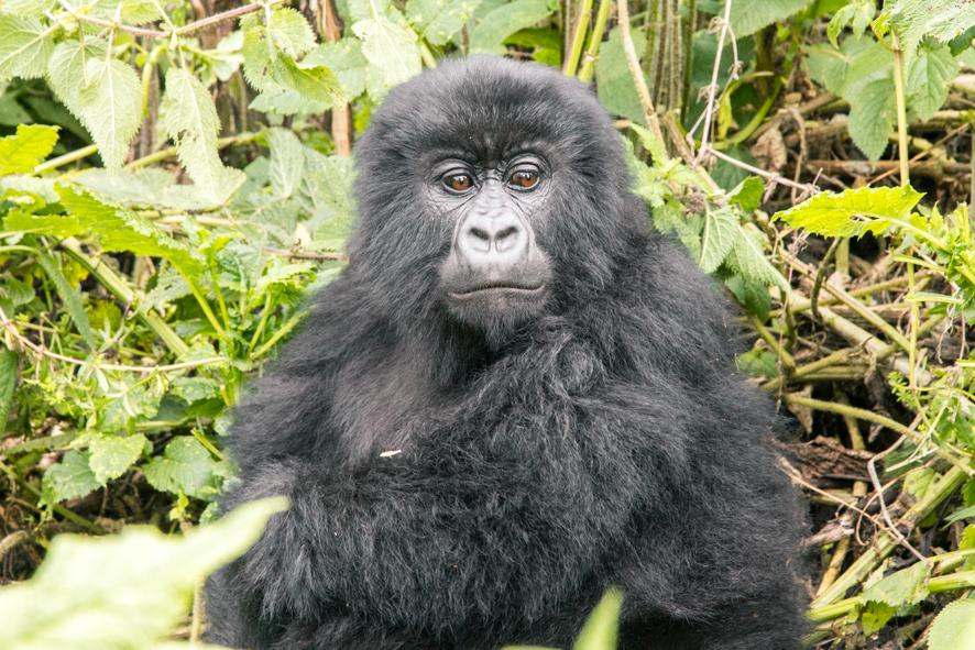 Young gorilla in Rwanda