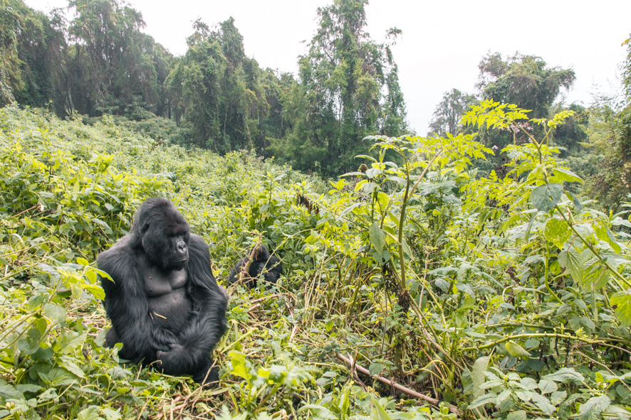 A gorilla standing in the middle of the Volcanoes National Park forest