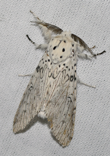 Papillon De Nuit Noir Et Blanc : papillon, blanc, Papillons, Nocturnes, Brenne, Leblogadupdup.org