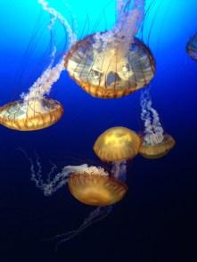 méduses chicago aquarium
