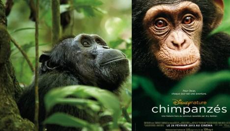 Male chimpanzee.