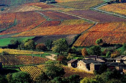 Vinhedos no Beaujolais