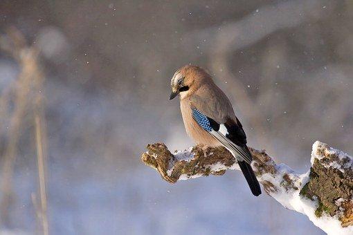 Geai en hiver - Le blog du hérisson